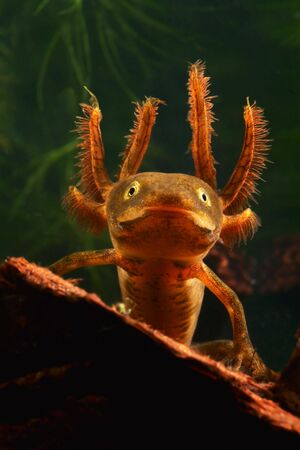 anura: retrato de una larva de la cresta trit�n Triturus cristatus