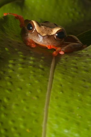 colorful tree frog Hypsiboas triangularum in the Bolivian rain forest Stock Photo - 5032404