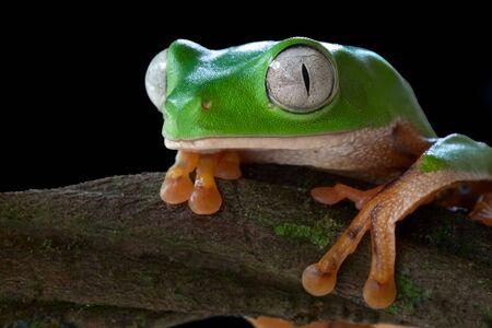 macr: monkey tree frog closeup un a branch