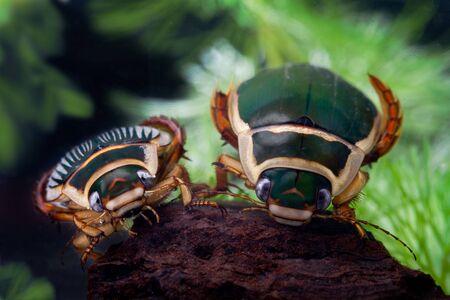 great diving beetle dytiscus marginalis close up portrait Stock Photo
