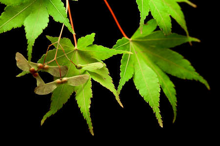 maple leaves and seeds macro on a black background photo