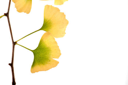 gingko biloba tree of life branch autumn colors isolated on a white background Stock Photo