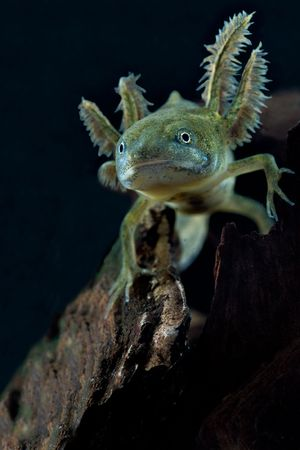 larval: crested newt larva showing its gills Stock Photo