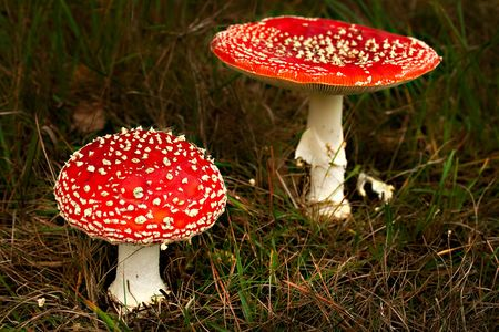 two colorful fly mushrooms Amanita muscaria photo