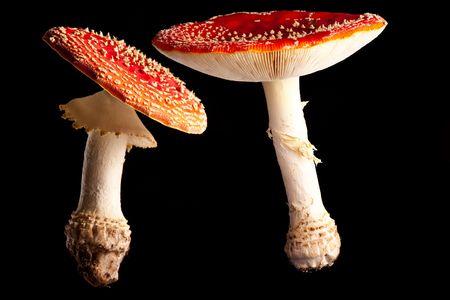 fly mushroom Amanita muscaria colors of autumn photo