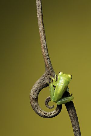 amphibia: frog sitting on a twig with curled spine