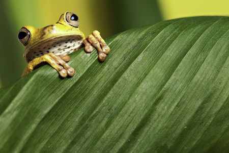 bolivia: tree frog hypsiboas geograficus at night in the Bolivian jungle looking at the moon Stock Photo