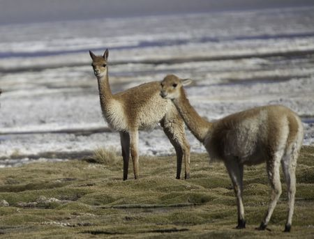 vicuna: vicuna in the pampas of the Bolivian alti plano the ancestpor