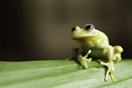 green tree frog on leaf in tropical amazon rainforest background with copy space photo