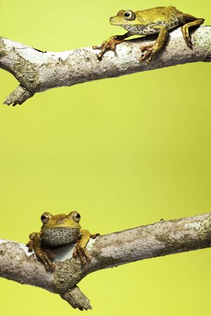 tree frog on branch yellow background with copy space Stock Photo - 6969042