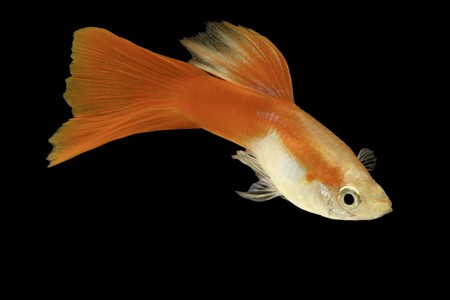 freshwater fish: red guppy isolated on black beautiful tropical aquarium fish Stock Photo