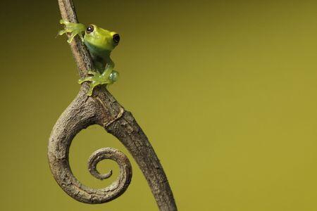 frog amphibian treefrog rainforest branch copy space background photo