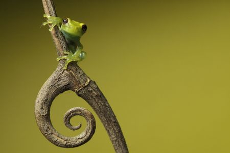 anura: frog amphibian treefrog rainforest branch copy space background