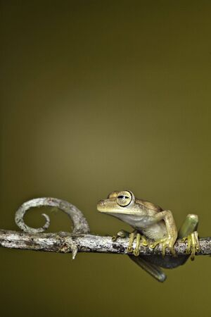 golden tree frog amphibian rainforest copy space background photo