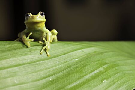 anura: frog amphibian treefrog rainforest green leaf background