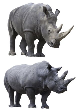 rhino rhinoceros big strong african mammal endangered species photo