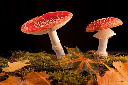 fairy toadstool: mushroom amanita muscaria fly agaric toadstool between moss and fall leafs isolated on black background with copy space