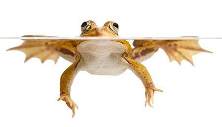 principe rana: rana verde natación aislado en anfibios blanco en peligro de extinción