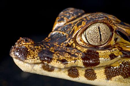 cayman reptile eye detail crocodile photo