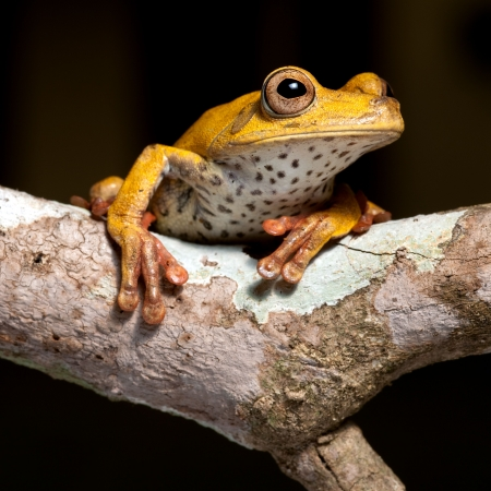 cold blooded: frog amphibian treefrog rainforest branch tropical