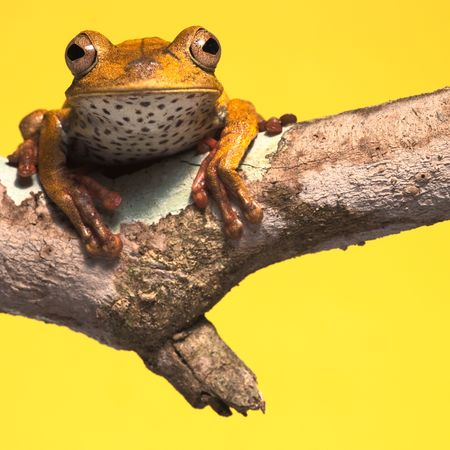 tree frog on branch yellow background with copy space Stock Photo - 8108279