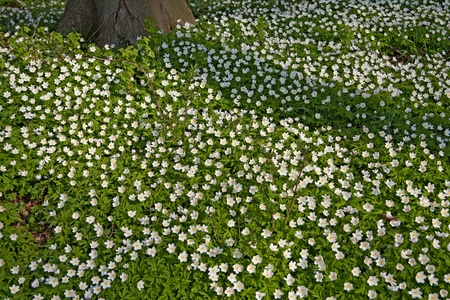 white wild flowers wood anemone nemorosa in early spring forest flower carpet windflower woodland landscape photo