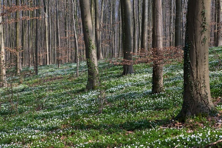 windflower: white wild flowers wood anemone nemorosa in early spring forest flower carpet windflower woodland landscape Stock Photo