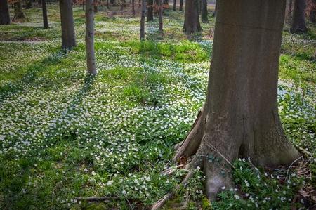 white wild flowers wood anemone nemorosa in early spring forest flower carpet windflower woodland landscape photo