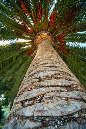 bark palm tree: Palm tree trunk bark and leaf looking upward laying down and relaxation in tropical paradise palm background Stock Photo