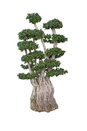 ginseng: old ficus ginseng microcarpa bonsai dwarf tree miniature ancient plant 200 years old isolated on white