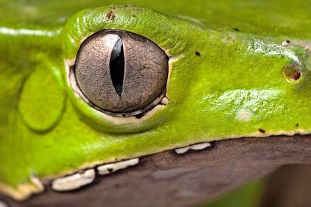 green tree frog at night on diagonal branch in amazon rain forest of Brazil beautiful poisonous amphibian this treefrog is a nocturnal animal of the rainforest in south America macro with copy space photo