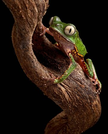 amazon rain forest: frog with big eyes on branch in Brazil amazon rain forest tree frog Phyllomedusa vailanti at night in tropical jungle crawling up nocturnal treefrog beautiful animal macro copy space black background