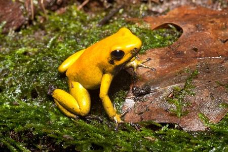 rana venenosa: rana veneno de animales del bosque amaz�nico lluvia venenosa con beuatiful brillante color amarillo y negro vive en Brasil Guyana y Suriname