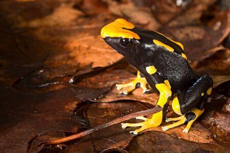 poison frog: rana veleno di animale della foresta pluviale amazzonica velenosa con beuatiful brillante colore giallo nero, vive in Brasile, Guyana e Suriname
