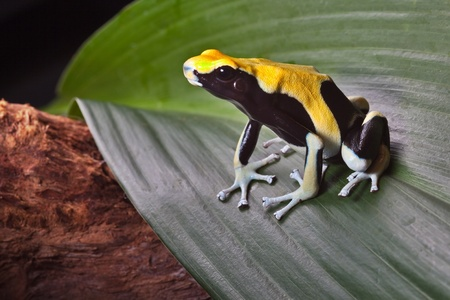 yellow and black poison dart frog: poison dart frog on leaf in south american amazon rain forest. Yellow back dendrobates tinctorius. Beautiful poisonous pet animal. Endangered amphibian of the tropical jungle.