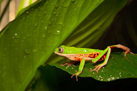 green tree frog: green tree frog crawling on leaf in tropical amazon rain forest. Beautiful amphibian with bright colors at night in jungle. Stock Photo