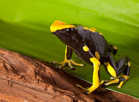 frog with bright orange and black colors. Poison dartfrog of amazon rainforest. Dendrobates tinctorius a beautiful pet animal. Stock Photo - 9914403