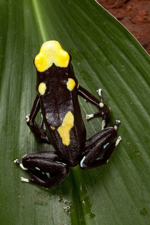 yellow and black poison dart frog: poisonous animal poison dart frog from amazon rain forest with beautiful bright vibrant colors yellow and black. sold in pet stores to keep in a tropical jungle terrarium.