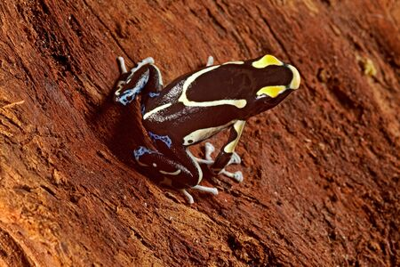 poison dart frog: poisonous animal poison dart frog from amazon rain forest with beautiful bright vibrant colors yellow and black. sold in pet stores to keep in a tropical jungle terrarium.