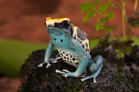 species: poison frog of amazon rainforest. Beautiful tropical jungle animal. This amphibian is an endangered species and needs nature conservation. bright blue yellow colors Stock Photo