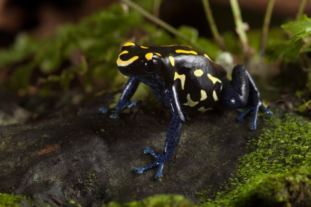 yellow and black poison dart frog: frog with bright yellow colors, a dart frog from amazon rain forest kept as an exotic pet in a terrarium. Poisonous tropical jungle animal lives in Brazil and guyana poison frog dendrobates tinctorius