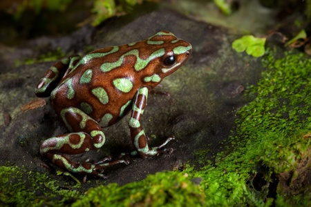dendrobates: golden poison frog, dendrobates auratus lives in the central american rain forest of Panama. Beautiful animal kept as a pet in a tropical jungle terrarium. an exotic poisonous amphibian bright colors.