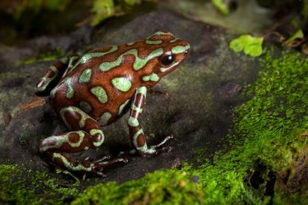 poison frog: veleno rana d'oro, Dendrobates auratus vive nella foresta pluviale centrale americana di Panama. Animale bella come animale da compagnia in un terrario giungla tropicale. un esotico velenosi anfibi colori brillanti. Archivio Fotografico
