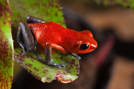 strawberry frog: red frog from Costa Rica or panama poison dart frog on leaf in central American rain forest. . Beautiful poisonous pet animal. Endangered amphibian of the tropical jungle. strawberry frog
