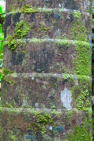 palm tree trunk detail bark background of tropical rain forest Stock Photo - 10806610
