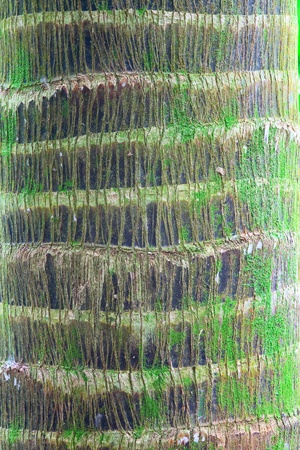 bark palm tree: palm tree trunk detail bark background of tropical rain forest