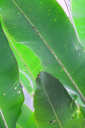 banana leafs background, detail tropical rain forest green leaf backlit by sun exotic foliage of pristine jungle photo
