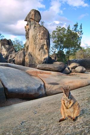 marsupial: rock wallaby on rock formations tablelands queensland Australia a small kangaroo marsupial animal Stock Photo
