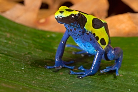poison frog: poison dart frog with bright vivid  blue green colors. Beautiful amazon rain forest amphibian of the Brazil tropical jungle. Pet animal kept in terrarium. Stock Photo