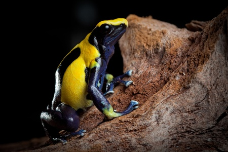 amazon rain forest: poison dart frog with bright blue yellow colors a real jewel of the amazon rain forest. Dendrobates tinctorius. Exotic pet animal in terrarium. Stock Photo